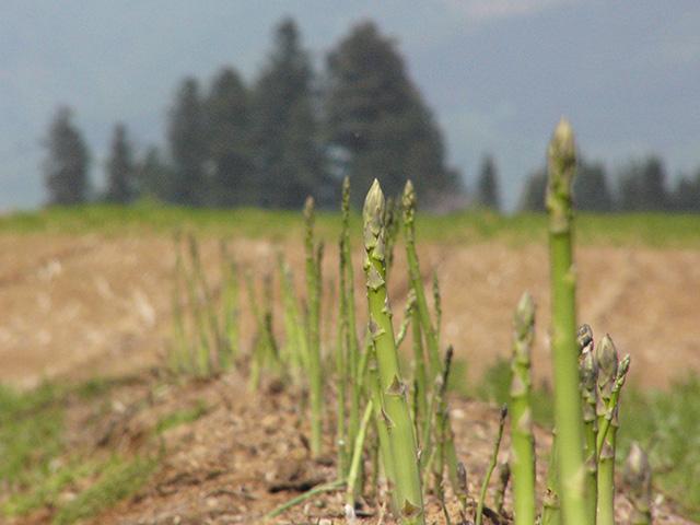 収穫前のアスパラ