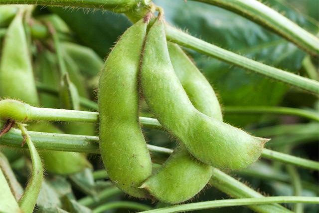 収穫前の枝豆