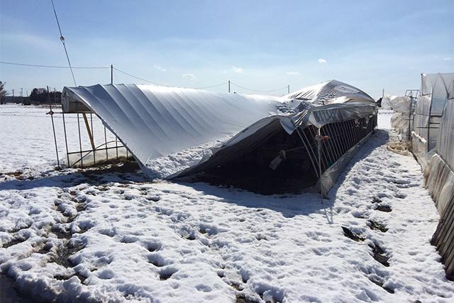 雪の被害で倒壊するビニールハウス