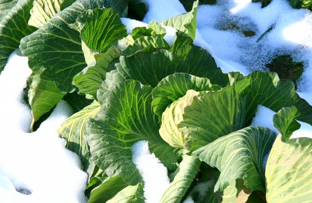 雪の中に置かれた淡色野菜