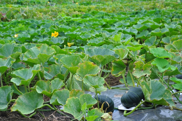 収穫直前のかぼちゃ