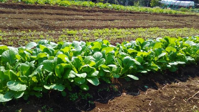 収穫前の小松菜