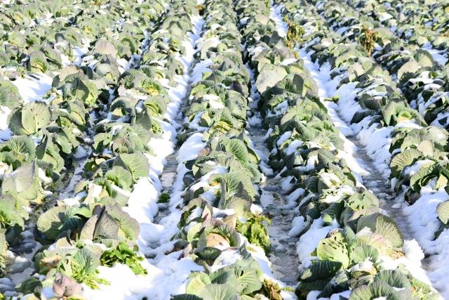 雪の中にあるキャベツ