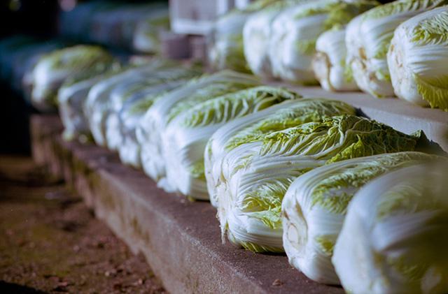 蔵で保存された白菜