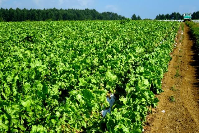 収穫前のレタス
