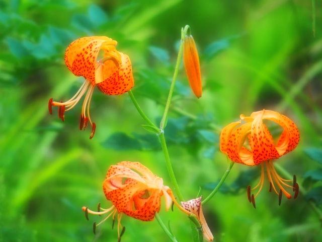 コオニユリの花