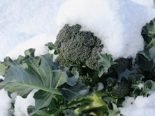 雪の中のブロッコリー