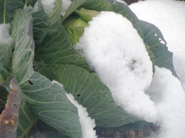 雪をかぶったキャベツ